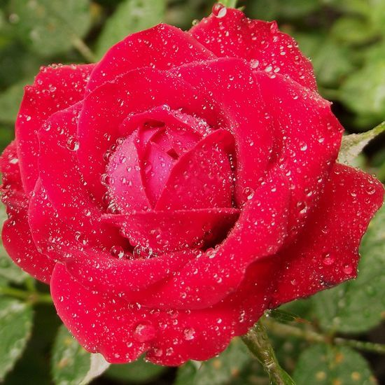 Close-up Red Rose 🌹 Spring Flowers Wet Rose Beauty In Nature