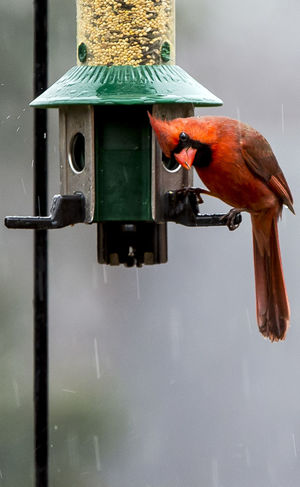 Bird at the feeder Rainy Days Red Bird Animal Themes Animal Wildlife Animals In The Wild Bird Bird At The Feeder Bird Feeder Bird In The Rain Close-up Day Nature No People Northern Cardinal Male One Animal Outdoors Perching