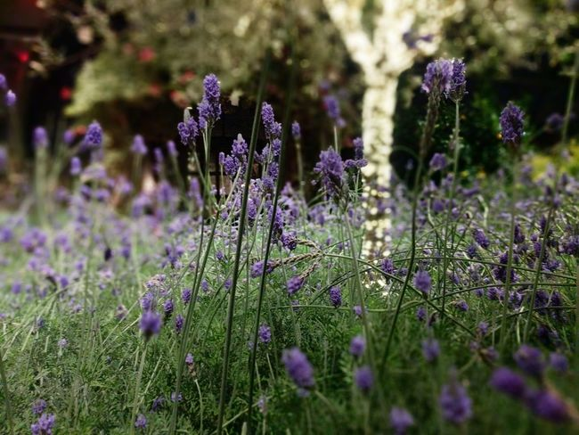 Lavender & lights Longwood Gardens LongwoodGardens Lavender Flowers Lights And Shadows Tree Purple Lavender Flower Nature Beauty In Nature Plant No People Close-up Freshness Grass Herb Fragility Outdoors