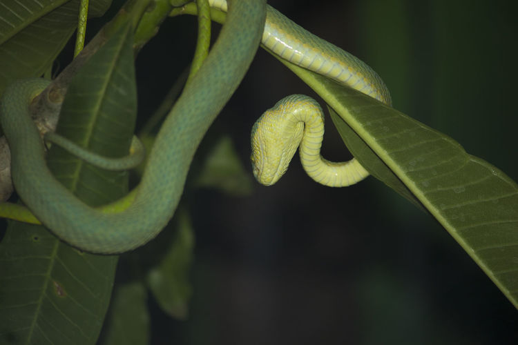 Green Vine snake hanging on leaf Amazing Snake Animal Themes Animal Wildlife Animals In The Wild Beauty In Nature Close-up Green Color Green Snake Green Vine Green Vine Snake Growth Leaf Nature No People Outdoors Plant Snake ♥