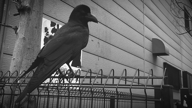 Crow Bird Blackandwhite Black Detective Spy