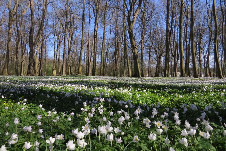 Busch-Windröschen im Park Juliusruh Beauty In Nature Blooming Blossom Botany Flower Nature No People Outdoors Plant Spring Flowers Spring Flowers 2016 Tree Wildflower Wood Anemone