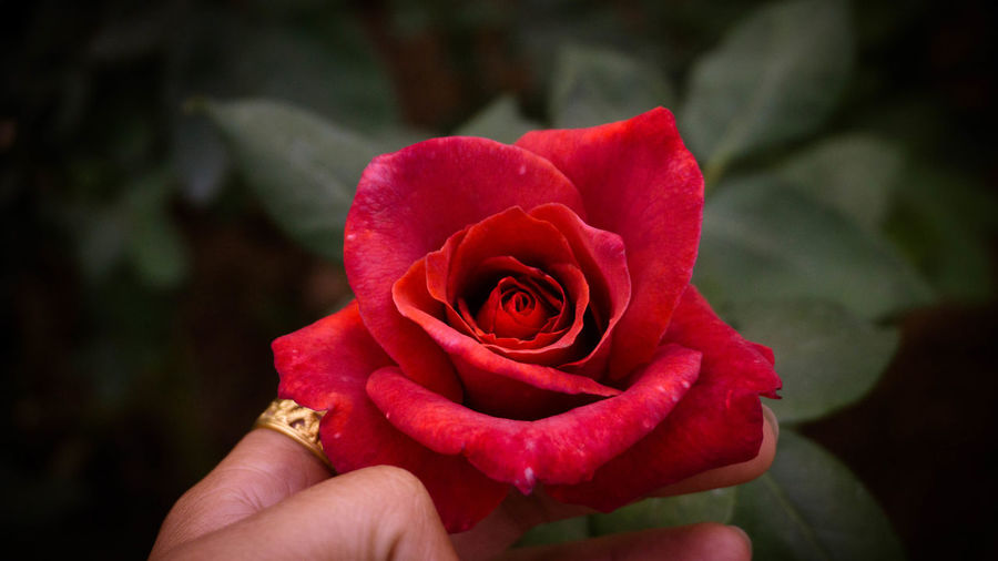 Cropped hand touching red rose growing in park