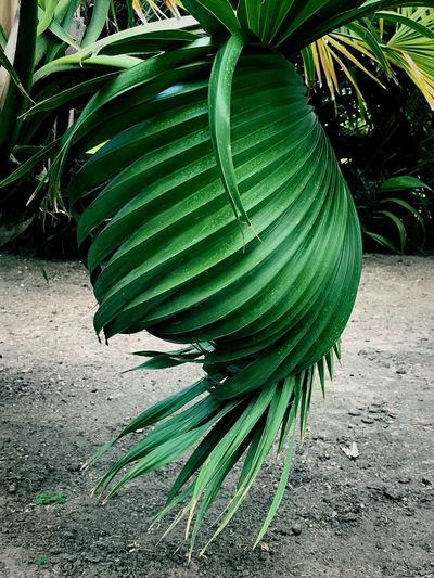 Close-up of coconut palm tree leaves on field