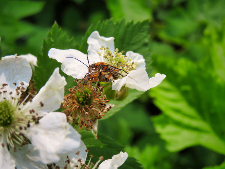 Two is better than one The EyeEm Collection Animal Themes Beauty In Nature Close-up Flower Flower Head Flowering Plant Focus On Foreground Fragility Freshness Growth Insect Leaf No People Petal Plant Pollen Pollination Two Insects White Color