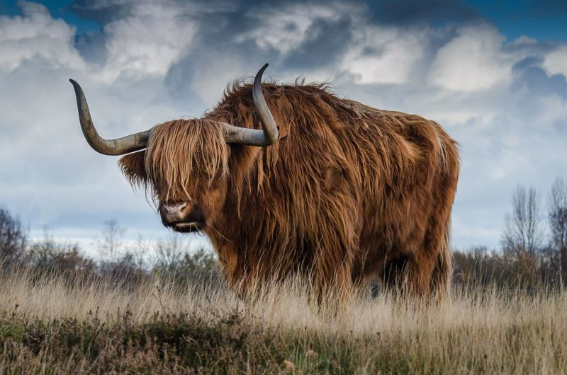 A brown bull and nature beauty looking attractive