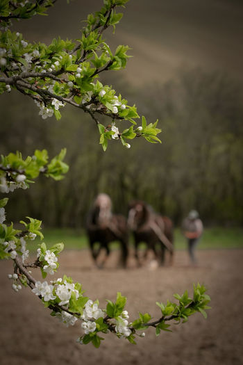 Growth Nature Beauty In Nature Day Plant Part Leaf Real People Selective Focus Tree Fragility Outdoors People Focus On Foreground Village Life Reap What You Sow Sow Horses Horse Spring Springtime Field Working In The Field Team Old Times Tree In Spring