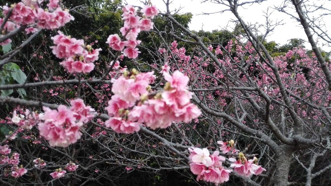 Japanese SAKURA from Okinawa Flower Growth Nature Pink Color Beauty In Nature Blossom Tree Fragility Plant Pink No People Branch Tranquility Spring Blooming Outdoors Freshness Bougainvillea Flower Head Day