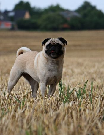 small pug is standing on a stubble field Beautiful EyeEm Pets Nature Pug Animal Themes Day Dog Domestic Animals Field Grass Landscape Little Mammal No People One Animal Outdoors Pets Portrait Pug Love Stubble Stubble Field Stubblefield Summer