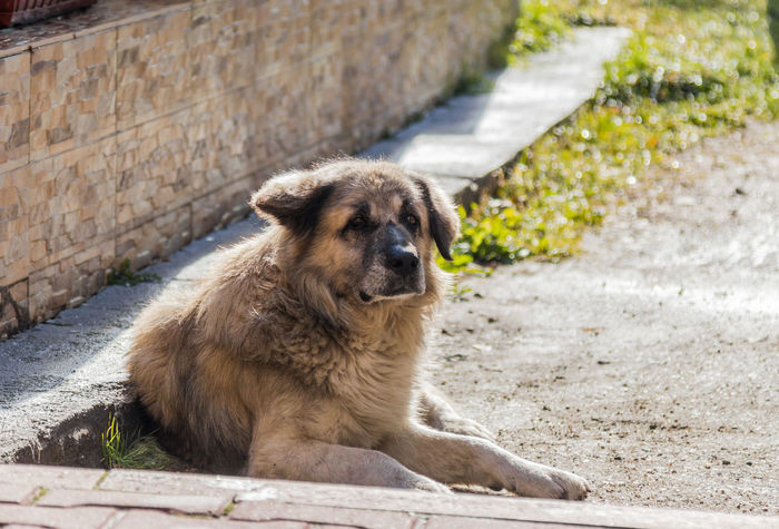 A big light brown dog lies on the ground near his house and guards him BIG Beautiful Funny Hunter Light Brown Canine Closeup Cute Day Dog Domestic Animals Eyes Friend Ground Guard Lies Looking Mammal One Animal Outdoors Pets Portrait Pup Sunny Day