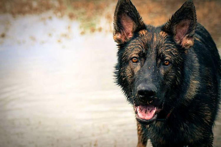 I Love My Dog German Shepherd GSD Gsdpuppy Florida Sable Wet Dog Puppy Enjoying Life Playing