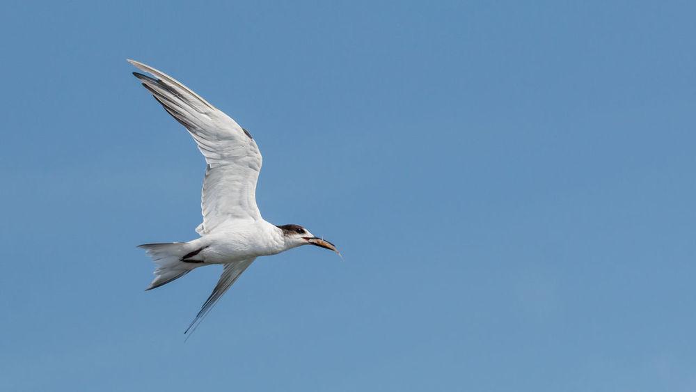 Gull, Pulicat, Tamilnadu #birdsinflight Animals In The Wild Bird Bird Photography Bird_flight Birds Birdwatching Flying Spread Wings First Eyeem Photo