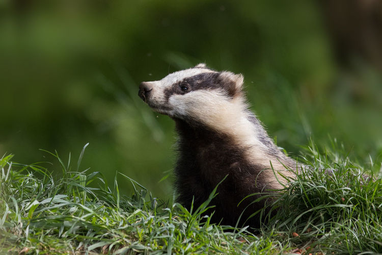 European badger European Badger Badger Meles Meles Sniffing Around Alerted Cute Mammal Green Grass Dachs Mustelidae,