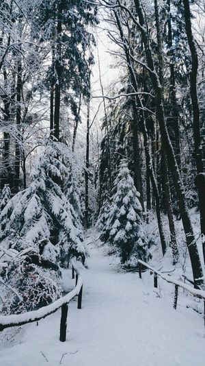 Tree Winter Snow Cold Temperature Nature Beauty In Nature Tranquility No People Growth Forest Scenics Outdoors Day Branch Sky