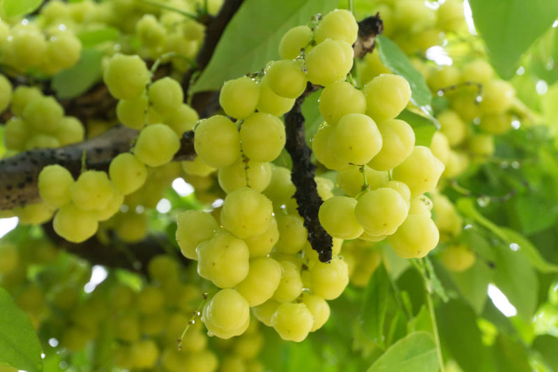 Star Gooseberry Agriculture Beauty In Nature Bunch Close-up Day Focus On Foreground Food Food And Drink Freshness Fruit Grape Green Color Growth Hanging Healthy Eating Low Angle View Nature No People Outdoors Plant Tree Vine - Plant Vineyard Winemaking
