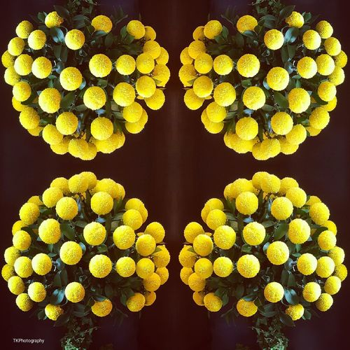 Symmetry Indoors  Close-up Flowers,Plants & Garden Nature Flowers_collection EyeEm Selects From My Point Of View Colorful Beauty In Nature Eye4photography  Multiple Image Freshness Yellow Yellow Flower Yellow Color Flower Arrangement Nature Photography Nature On Your Doorstep Kuala Lumpur Malaysia