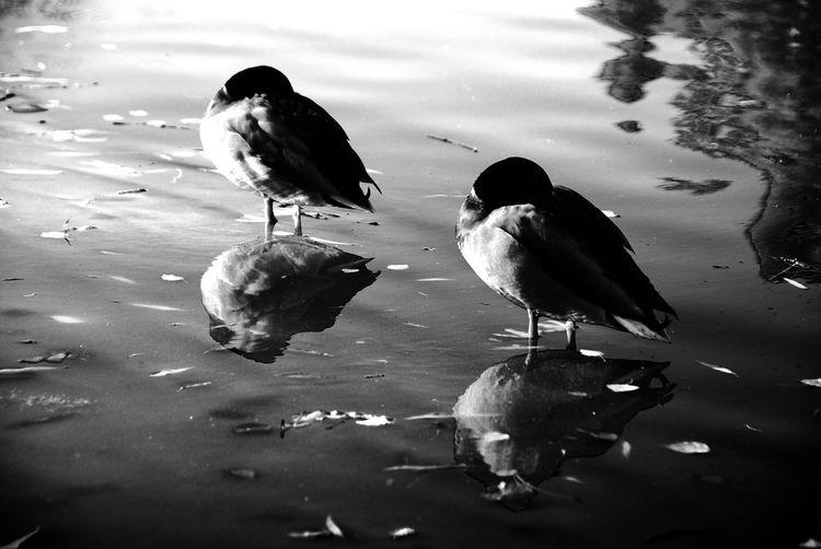 #bnwphotography #bnw #Lake #ducks #Duck