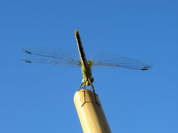 Low angle view of dragonfly against clear blue sky
