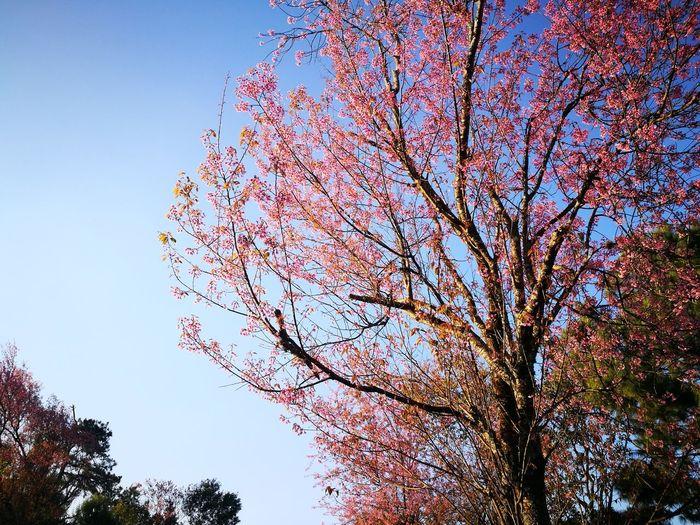 Sky Nature Tree Beauty In Nature Sakura Beautiful Nature Natural Flawer🌸