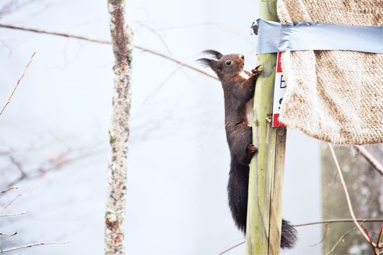 Squirrel on bamboo against sky