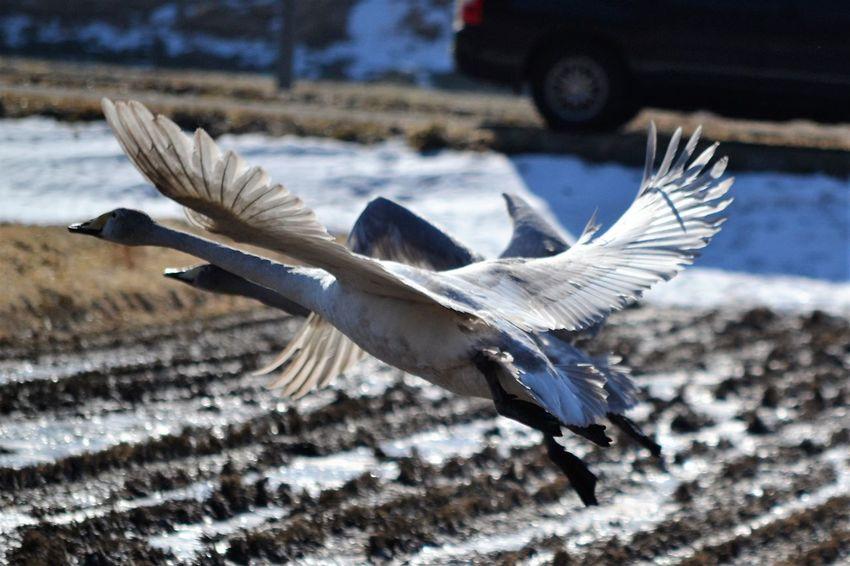 Bird Clear Sky Iwate Swan Tohoku 岩手 白鳥 遠野