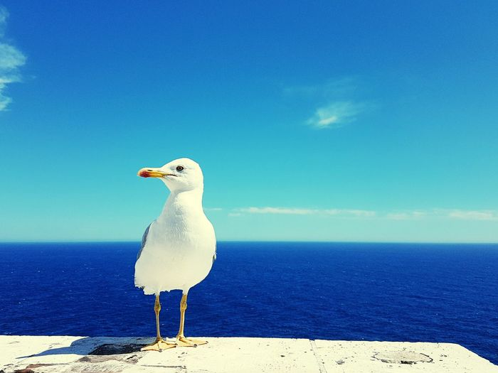 EyeEm Selects Bird Seagull Sea Animal Wildlife Animals In The Wild One Animal Nature Outdoors Blue Water Beauty In Nature Sky Day Animal Themes Mediterannee Goeland Perching Blue Sky Breathing Space Monaco Lost In The Landscape