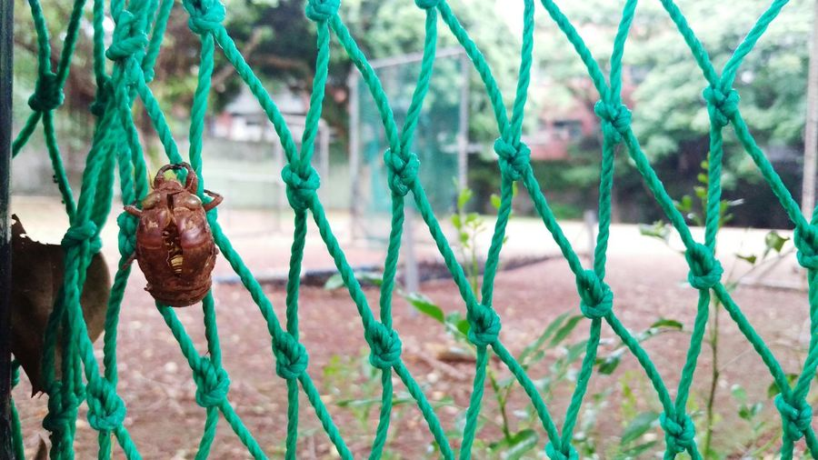 Close-up of cicada exoskeleton on netting