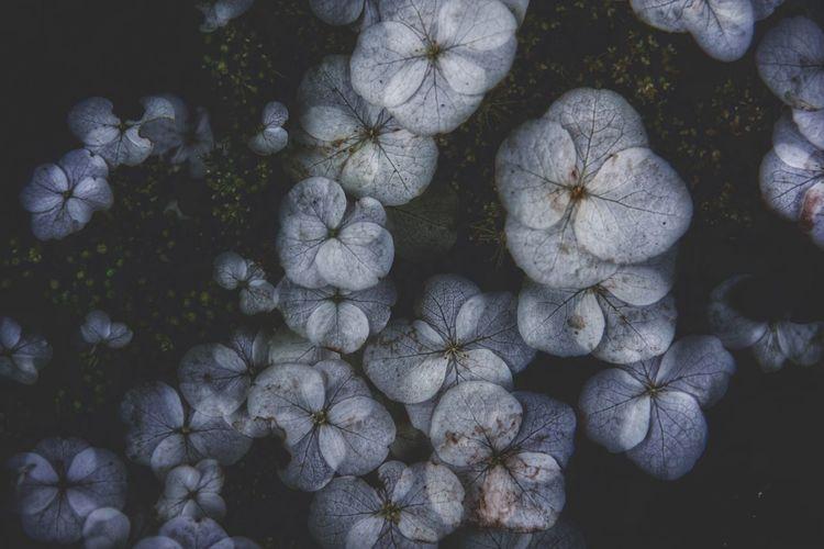 Close-up of white hydrangea