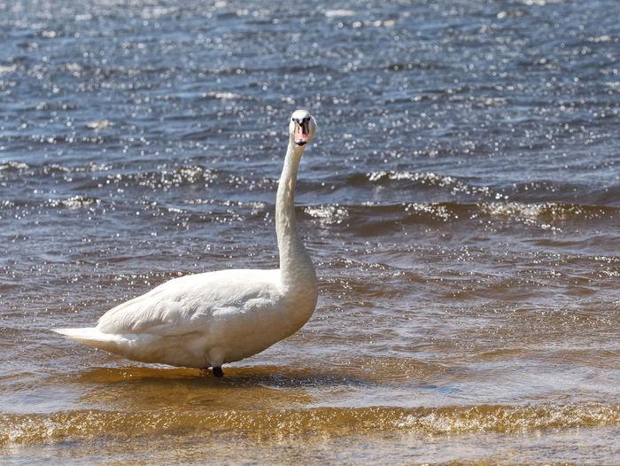 Swan on sea shore
