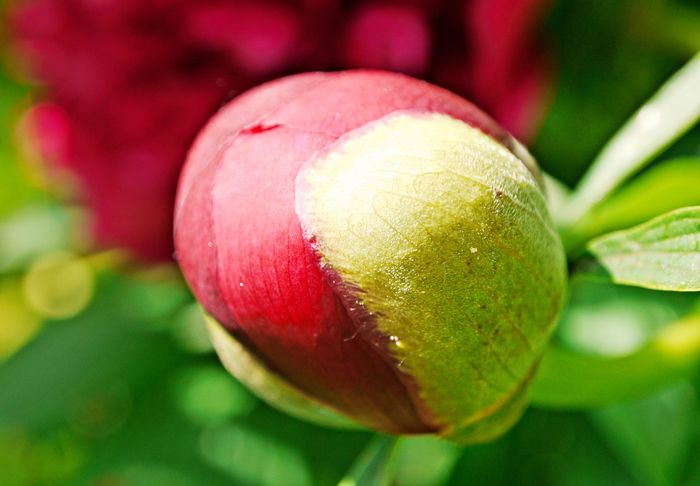 Beauty In Nature Close-up Day Flower Flower Head Focus On Foreground Freshness Green Color Growing Nature No People Outdoors Peony Bud Red