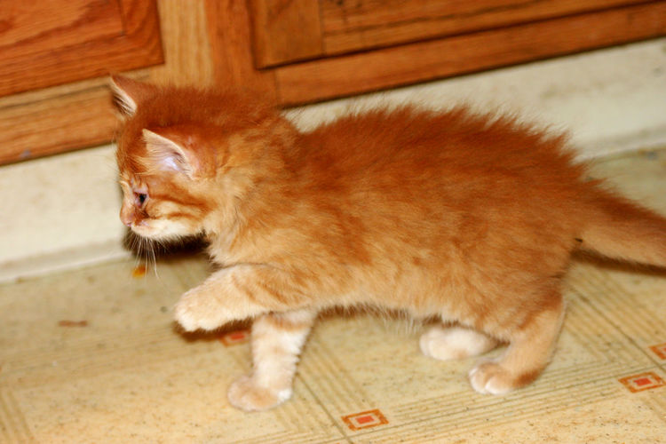 Animal Themes Close-up Day Domestic Animals Domestic Cat Feline Ginger Cat Indoors  Mammal No People One Animal Pets