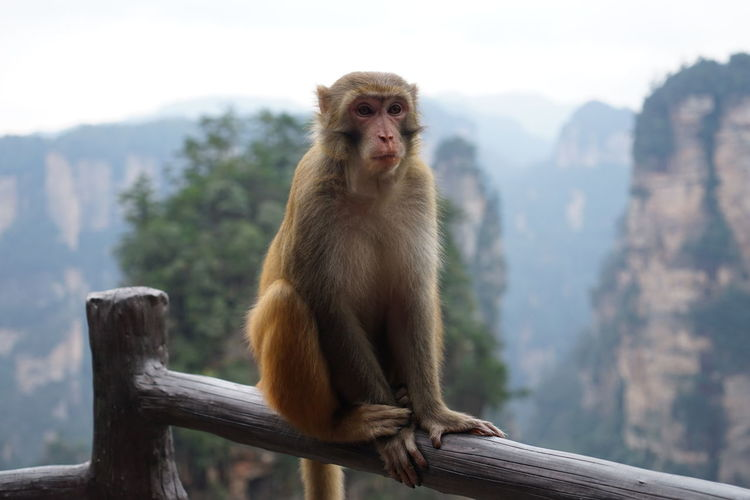 Ginger monkey on the bannister