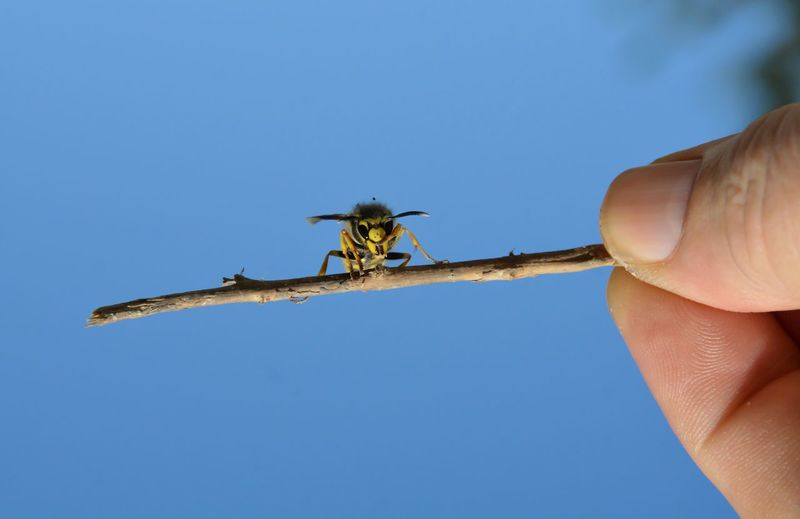 Close-up of hand holding insect on twig against clear sky