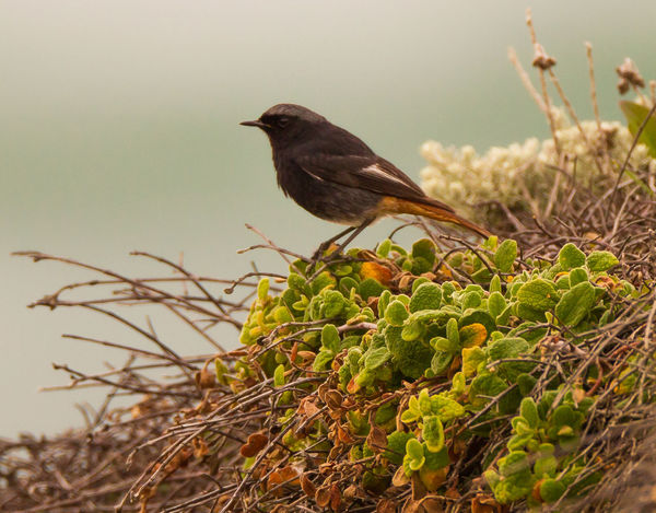 Animal Themes Animal Wildlife Animals In The Wild Bird Photography Black Redstart Close-up European Birds Nature Nature Photography No People One Animal Phoenicurus Ochruros Western Palearctic Wildlife & Nature Wildlife Photography