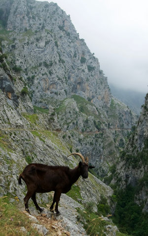 Animal Animal Themes Animals In The Wild Asturias Beauty In Nature Cares Gorge Cloud Cloudy Day Goat Gorge Landscape Mountain Mountain Goat Mountains Nature No People One Animal Outdoors Picos De Europa SPAIN Travel Travel Destinations Travel Photography Traveling