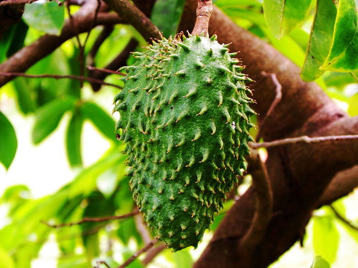 A soursop on