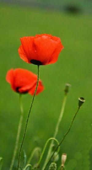 Flowers Gelincik Popies