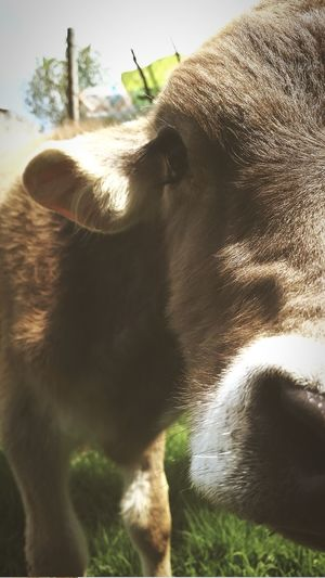 Sagalito Domestic Animals Livestock Cow Cattle Agriculture Farm Animal Head  Animal Themes Mammal Day Close-up No People Outdoors American Bison Collar Nature Oil Pump