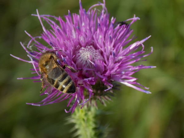 Autumn Nature Animal Themes Animals In The Wild Beauty In Nature Beeds Day Flower Flower Head Flowers Fragility Freshness Growth Insect Nature No People One Animal Outdoors Springtime Thistle
