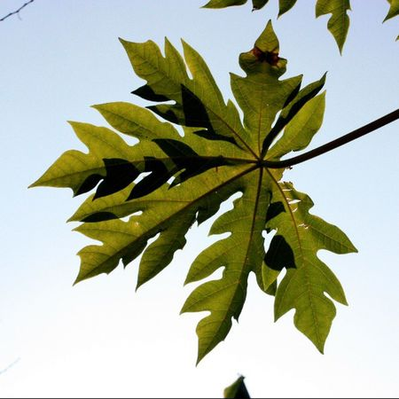 Canoneos450D Leaves Green Sky Nature Instagram Fb Instagood Instagreen 5foru Snap Irfan HASHTAG Irfan2266