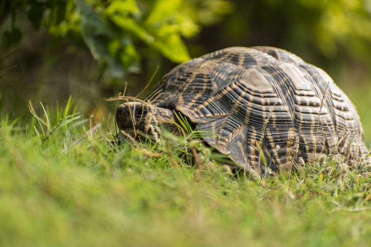 Close-up of a tortoise on grass