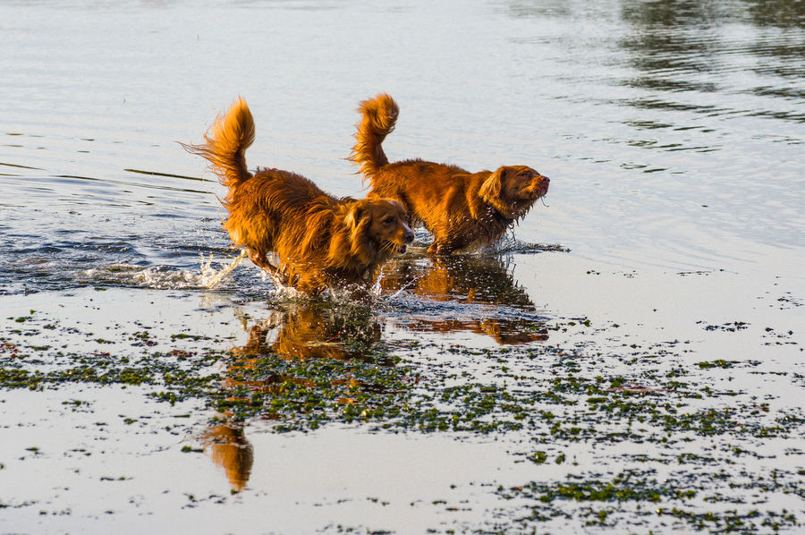 Nova Scotia Duck Toller Animal Animal Themes Canine Day Dog Dogs Running At Beach Domestic Domestic Animals Lake Mammal Motion Nature No People One Animal Pets Running Vertebrate Water Waterfront