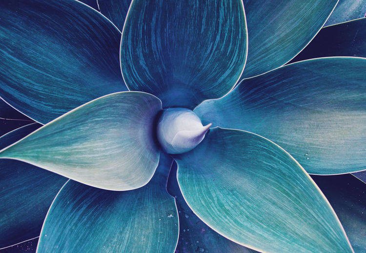Close-up of blue agave plant leaves
