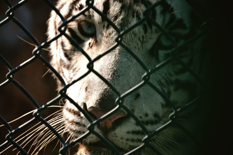 Portrait Of Tiger Seen Through Chainlink Fence