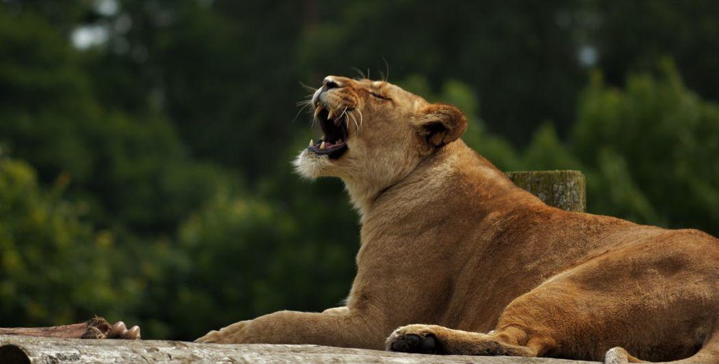 Animal Themes Animals In The Wild Blair Drummond Safari Park Feirce  Feline Lioness Outdoors Rawr Teeth Yawning EyeEmNewHere