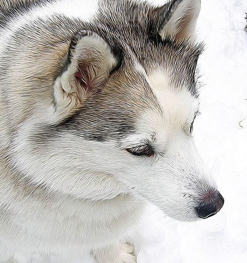 Syke in the snow Siberian Husky Husky Snow Dogs