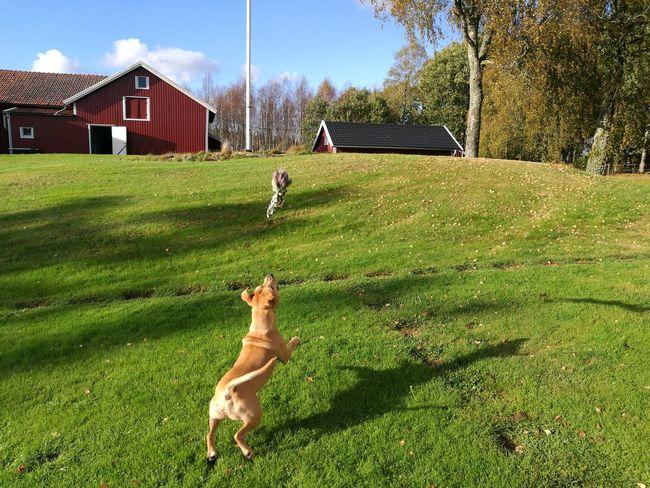 Playtime. Grass Playing Lawn Animal Themes Shadow Dog Pitbull Apbt Pitbull Terrier