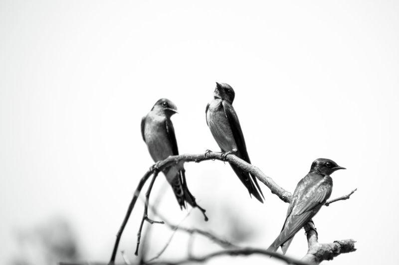 3 barn swallow