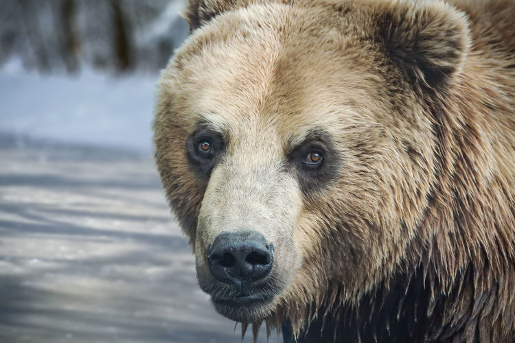 The big head of a brown bear in front of a frozen pond. the bear keeps eye contact with