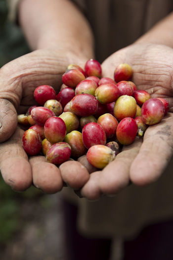 Midsection of person holding coffee cherries
